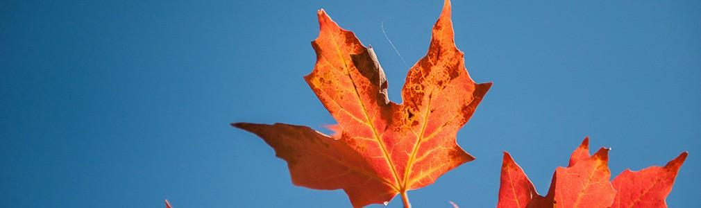 La foglia d'acero figura nella bandiera del Canada