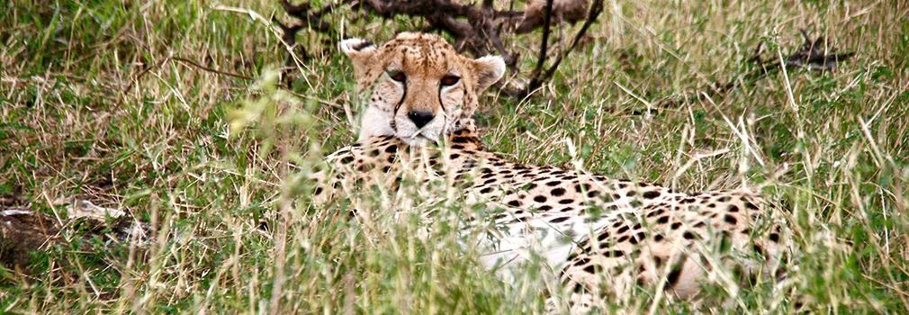 Un ghepardo nel Masai Mara