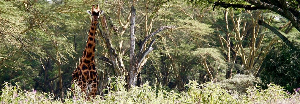 Giraffa nel parco nazionale Lago Nakuru, a est di Nairobi