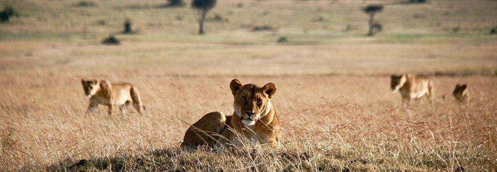 Avvistare leoni durante un safari in Kenya