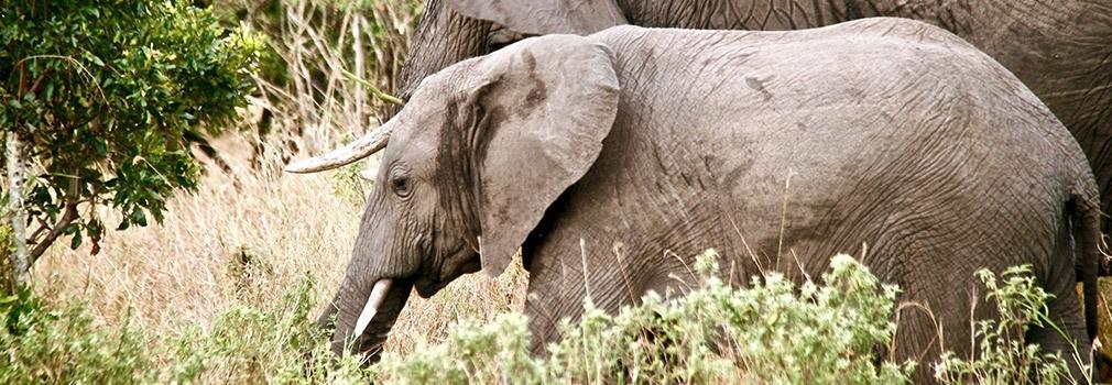 Un'elefante nel Masai Mara