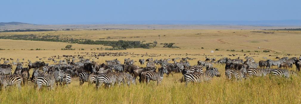 Zebre in Kenya