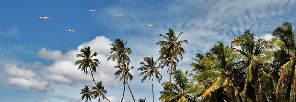 Palme nello Sri Lanka